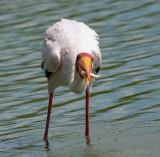 Yellow-billed Stork - Mycteria ibis - Afrikaanse nimmerzat PSLR-1103_bewerkt-1.jpg