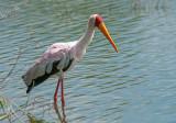 Yellow-billed Stork - Mycteria ibis - Afrikaanse nimmerzat PSLR-1117.jpg