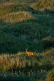 Ree - Roe Deer PSLR-7342.jpg