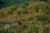 Roe Deer - Ree Ameland PSLR-7351.jpg