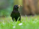 Sturnus vulgaris -  Common Starling - Spreeuw