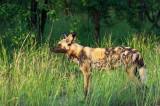 African Wild Dog -  hyenahond - Lycaon pictus  PSLR-1822.jpg