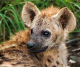 Hyena cub PSLR-1570.jpg