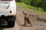 Hyena cub PSLR-1572.jpg