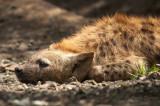 Hyena cub PSLR-1576.jpg