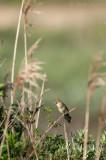 Grasshopper Warbler - Sprinkhaanzanger - Ameland KPSLR-5101.jpg