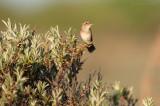 Locustella naevia - Grasshopper Warbler - Sprinkhaanzanger
