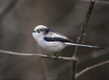 Staartmees - Long-tailed Tit PSLR-1724.jpg