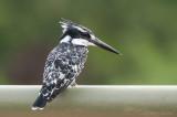 Pied Kingfisher PSLR-1603.jpg