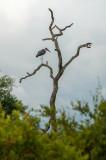 Marabou Stork and Cape Starling PSLR-1558.jpg