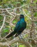 Burchell's Starling - Kruger Park PSLR-1506.jpg