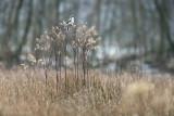 Lanius excubitor – Great Grey Shrike - Klapekster PSLR-2911.jpg