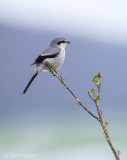 Lanius excubitor – Great Grey Shrike - Klapekster PSLR-2925.jpg