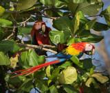 Scarlet Macaw Costa Rica PSLR-4369.jpg
