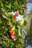 Scarlet Macaw - Costa Rica PSLR-4428.jpg
