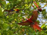 Scarlet Macaw Costa Rica PSLR-4313.jpg