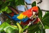 Scarlet Macaw PSLR-4364.jpg