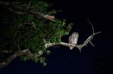 Southern White-faced Owl KPSLR-2167.jpg