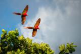 Scarlet Macaw PSLR-4000.jpg