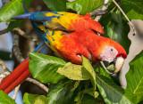 Scarlet Macaw PSLR-4366.jpg