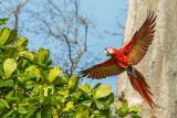 Scarlet Macaw PSLR-4350.jpg