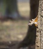 Variegated Squirrel La Sabana Park - PSLR-2988.jpg