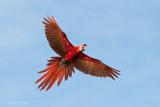 Ara macao - Scarlet Macaw - Geelvleugelara