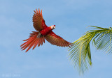 Scarlet Macaw - Costa Rica PSLR-4376.jpg