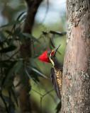 Lineated Woodpecker - Male PSLR-3034.jpg