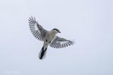Lanius excubitor – Great Grey Shrike - Klapekster PSLR-2936.jpg