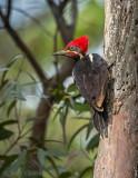 Dryocopus lineatus -Lineated Woodpecker - Gestreepte Helmspecht