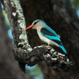 Halcyon senegalensis - woodland kingfisher - Senegal-ijsvogel