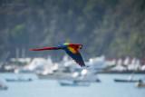 Scarlet Macaw PSLR-4325.jpg