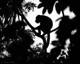 Mantled Howler Monkey - Costa Rica PSLR-3620.jpg