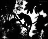 Mantled Howler Monkey - Costa Rica PSLR-3621.jpg
