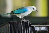 Blue-gray Tanager - Costa Rica PSLR-3136.jpg