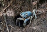 Blue land crab - Costa Rica PSLR-3094.jpg