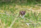 Weasel - Wezel Bargerveen PSLR-5448.jpg