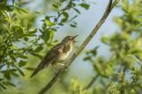 Common Grasshopper Warbler PSLR-6014