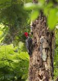 Pale-billed woodpecker  PSLR-3336.jpg