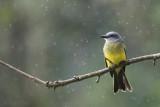 Tropical Kingbird KPSLR-3659.jpg