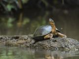 Black River Turtle PSLR-3237 NiS.jpg