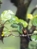 Stripe-tailed Hummingbird  PSLR-3858.jpg