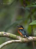 Pigmee Kingfisher PSLR-3228.jpg