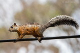 Variegated Squirrel - PSLR-2996.jpg