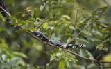 Tiger Rat Snake PSLR-3443 NiS.jpg