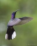 Violet Sabrewing male PSLR-3847.jpg