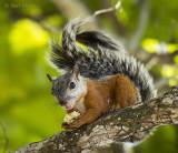 Variegated Squirrel KPSLR-4289 NiS.jpg