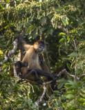 Spider Monkey PSLR-3457 Nis.jpg