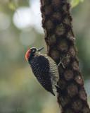 Black-cheeked Woodpecker  PSLR-3578 NiS.jpg